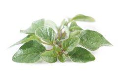 Os oréganos plantam no branco Imagens de Stock Royalty Free