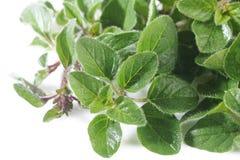 Os oréganos plantam no branco Fotografia de Stock Royalty Free