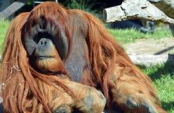 Os orangotango Imagem de Stock Royalty Free