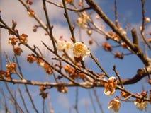 Os osaceae Foto de Stock