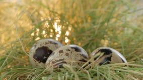 Os ovos de codorniz encontram-se em um ninho da palha O close-up da mão do homem toma os ovos do ninho vídeos de arquivo