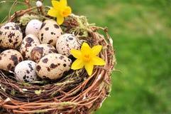 Os ovos de codorniz no ninho amarelam flores em um lado Copie o espaço Imagens de Stock Royalty Free