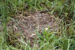 Os ovos de ninho do pato do pato selvagem pilharam pelo predador do guaxinim, Geórgia EUA Fotografia de Stock