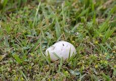 Os ovos de ninho do pato do pato selvagem pilharam pelo predador do guaxinim, Geórgia EUA Imagem de Stock Royalty Free