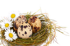 Os ovos e as camomilas de codorniz em um ninho fotos de stock