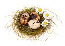 Os ovos e as camomilas de codorniz em um Easter aninham-se fotografia de stock royalty free
