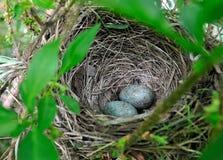 Os ovos em um ninho da árvore. Foto de Stock Royalty Free