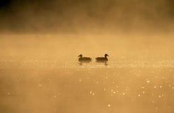 Os pássaros acoplam-se em um lago no alvorecer Imagens de Stock