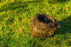 Os pássaros aninham a colocação na grama, casa crafted animal com galhos, fundo da estação de mola imagens de stock