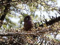Os pássaros aninham-se mantido no ramo de uma árvore Foto de Stock Royalty Free
