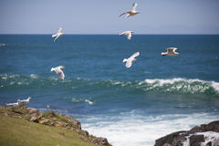 Os pássaros aproximam o oceano Foto de Stock Royalty Free