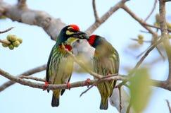 Os pássaros bonitos em Tailândia como comer o fruto maduro e os muitos deles são em pares Fotos de Stock