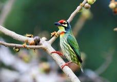 Os pássaros bonitos em Tailândia como comer o fruto maduro e os muitos deles são em pares Imagens de Stock