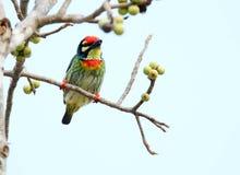 Os pássaros bonitos em Tailândia como comer o fruto maduro e os muitos deles são em pares Foto de Stock Royalty Free