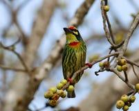 Os pássaros bonitos em Tailândia como comer o fruto maduro e os muitos deles são em pares Fotos de Stock Royalty Free
