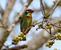 Os pássaros bonitos em Tailândia como comer o fruto maduro e os muitos deles são em pares Foto de Stock