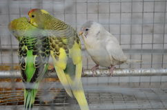 Os pássaros bonitos no homem fizeram a gaiola Fotos de Stock