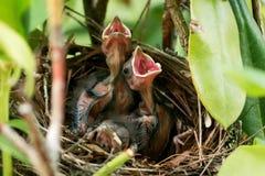 Os pássaros cardinais babay velhos de cinco dias com bocas abrem em seu ninho Imagem de Stock