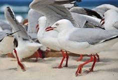 Os pássaros das gaivotas do rebanho do close up na ressaca branca da areia encalham Austrália Foto de Stock