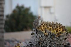 Os pássaros do deserto tendem a ser muito mais abundantes onde a vegetação é mais lusher e oferece assim mais insetos, fruto e se foto de stock