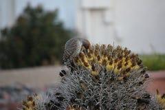 Os pássaros do deserto tendem a ser muito mais abundantes onde a vegetação é mais lusher e oferece assim mais insetos, fruto e se imagens de stock
