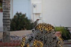 Os pássaros do deserto tendem a ser muito mais abundantes onde a vegetação é mais lusher e oferece assim mais insetos, fruto e se imagem de stock