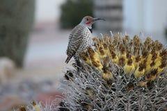 Os pássaros do deserto tendem a ser muito mais abundantes onde a vegetação é mais lusher e oferece assim mais insetos, fruto e se imagens de stock royalty free