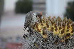 Os pássaros do deserto tendem a ser muito mais abundantes onde a vegetação é mais lusher e oferece assim mais insetos, fruto e se fotografia de stock