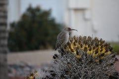 Os pássaros do deserto tendem a ser muito mais abundantes onde a vegetação é mais lusher e oferece assim mais insetos, fruto e se foto de stock royalty free
