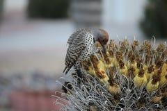 Os pássaros do deserto tendem a ser muito mais abundantes onde a vegetação é mais lusher e oferece assim mais insetos, fruto e se fotografia de stock royalty free