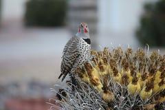 Os pássaros do deserto tendem a ser muito mais abundantes onde a vegetação é mais lusher e oferece assim mais insetos, fruto e se fotos de stock