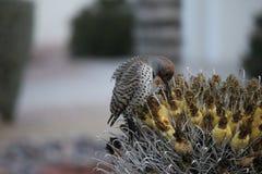 Os pássaros do deserto tendem a ser muito mais abundantes onde a vegetação é mais lusher e oferece assim mais insetos, fruto e se fotos de stock royalty free