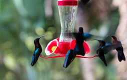 Os pássaros do zumbido, colibris vistos na ilha de Martinica Imagem de Stock Royalty Free