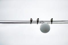 Os pássaros dos pardais sentam-se no poder dos fios Imagem de Stock