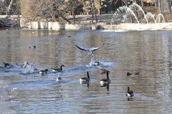 Os pássaros e os patos na água Foto de Stock Royalty Free