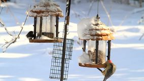 Os pássaros em alimentadores mostram pássaros bonitos no tempo de inverno vídeos de arquivo