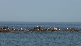 Os pássaros em ondas do mar molham a superfície em rochas rochosos verdes encalham no mar de japão filme