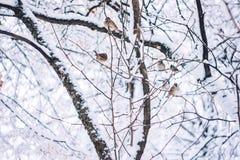 Os pássaros esperam a semente no ramo de árvore da neve no parque do inverno Birdwatching no dia frio da neve do inverno fotos de stock