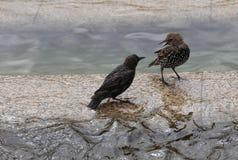 Os pássaros estão discutindo na fonte da cidade Foto de Stock