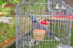 Os pássaros estão sendo mantidos na gaiola para a visão do turista em um recurso em Vietname imagens de stock royalty free