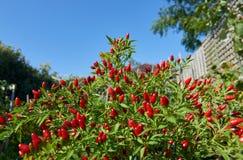 Os pássaros eye a planta do pimentão completamente de pimentões pequenos em um jardim do verão Fotografia de Stock Royalty Free