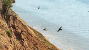 Os pássaros fazem ninhos na costa íngreme video estoque