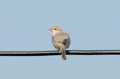 Os pássaros NamePlain-suportaram o pardal Imagem de Stock