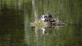 Os pássaros Natatorial do galeirão euro-asiático constroem ninhos para os ptets O atra euro-asiático do Fulica do galeirão, igual video estoque