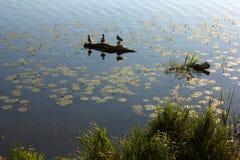 Os pássaros no lago com lírios de água Foto de Stock Royalty Free