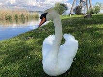 Os p?ssaros no lago Constance em Kreuzlingen ou em dado Voegel oder Vogel s?o Bodensee foto de stock royalty free