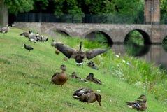 Os pássaros no parque com o córrego em Bruhl fortificam em Alemanha Fotos de Stock Royalty Free
