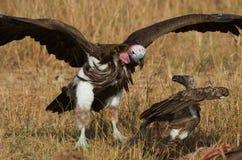 Os pássaros predatórios estão lutando um com o otro pela rapina kenya tanzânia Foto de Stock