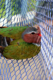 Os pássaros prendidos nas redes, Emerald Dove comum Imagem de Stock Royalty Free