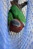 Os pássaros prendidos nas redes, Emerald Dove comum Imagem de Stock